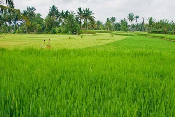 sawah-lombok